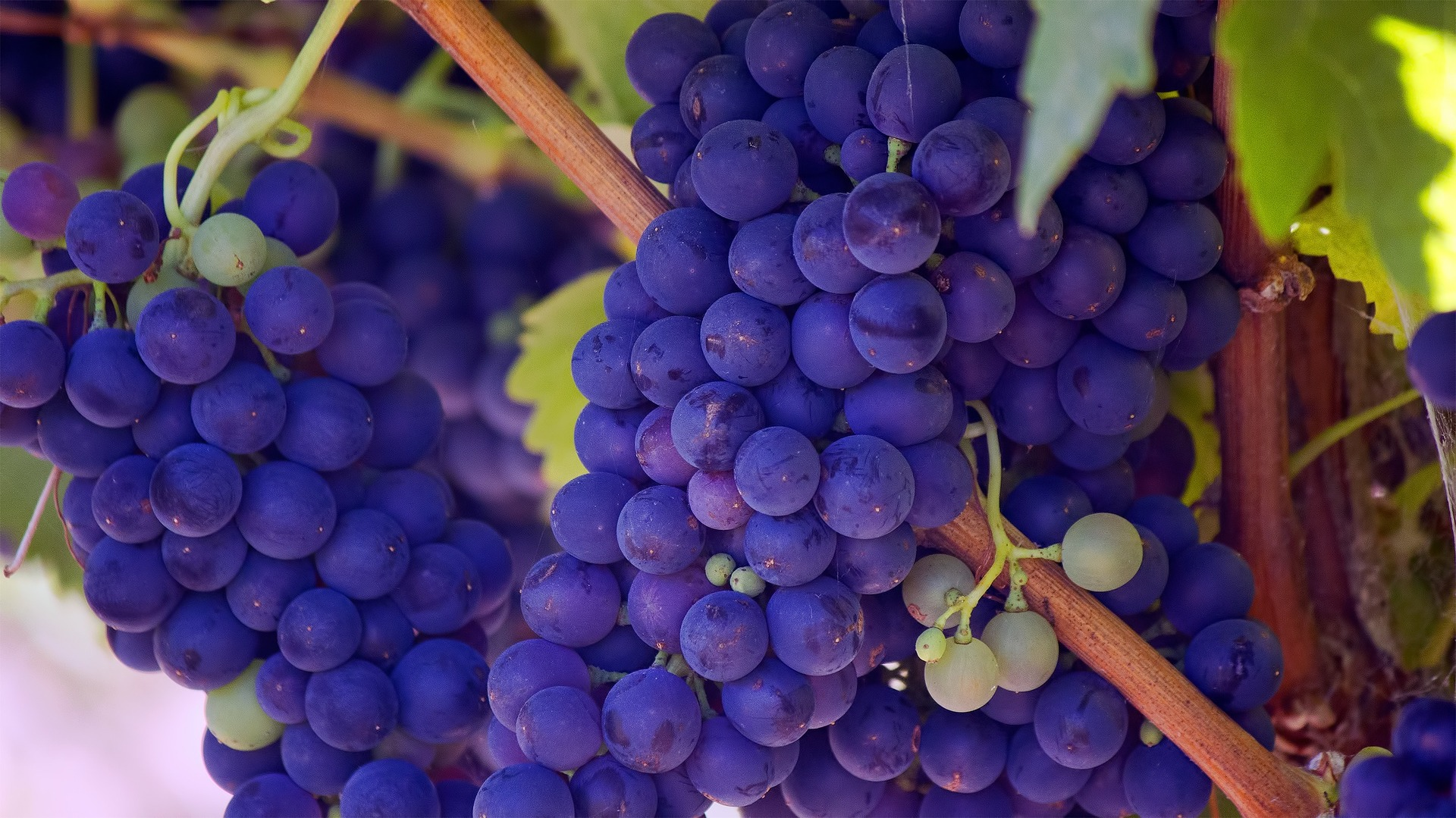 Benefits of Grapes. grapes. www.blisslife.in
