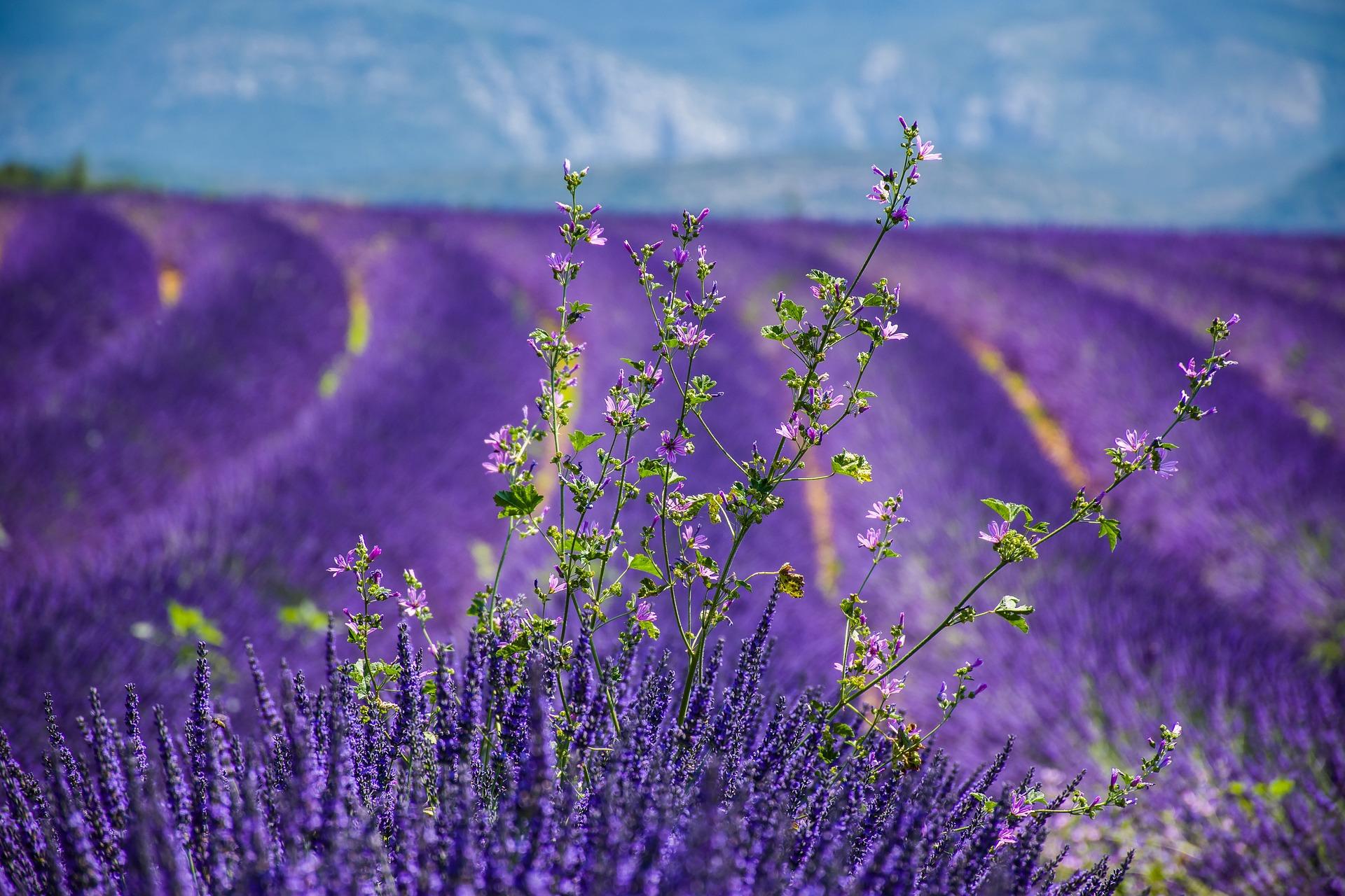 Sleep Nutrition Supplements. lavender. flower. flower . www.blisslife.in