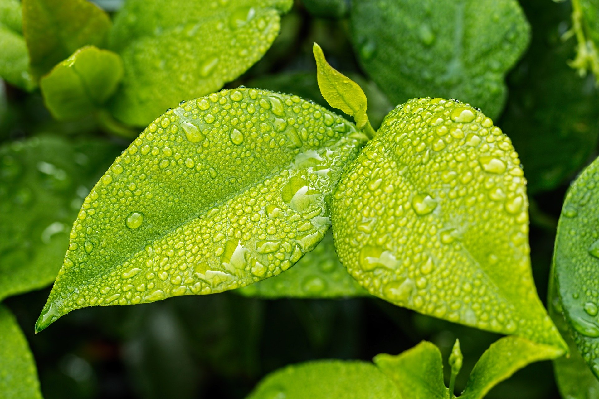 Increase Dopamine. green leaves. water drops on the leaves. www.blisslife.in