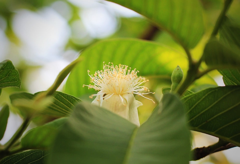 health benefits of guava leaves. leaves, green, guava flower, guava leaves. www.blisslife.in